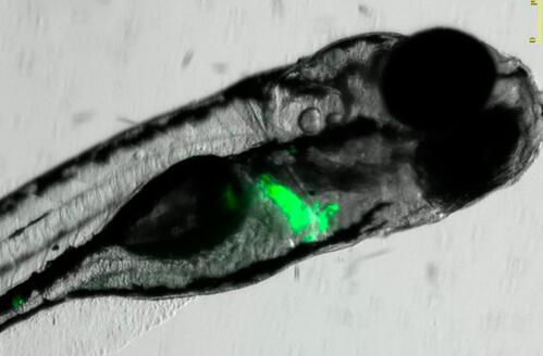 Fluorescent Transgenic Zebrafish: How Are They Used in Drug Screening?