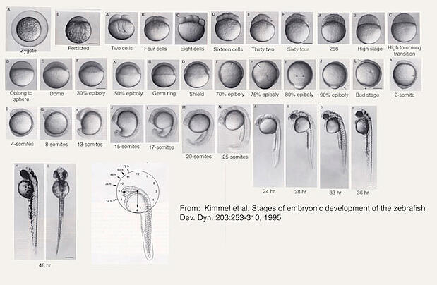 Zebrafish Development Stages: How They Are Used for Research